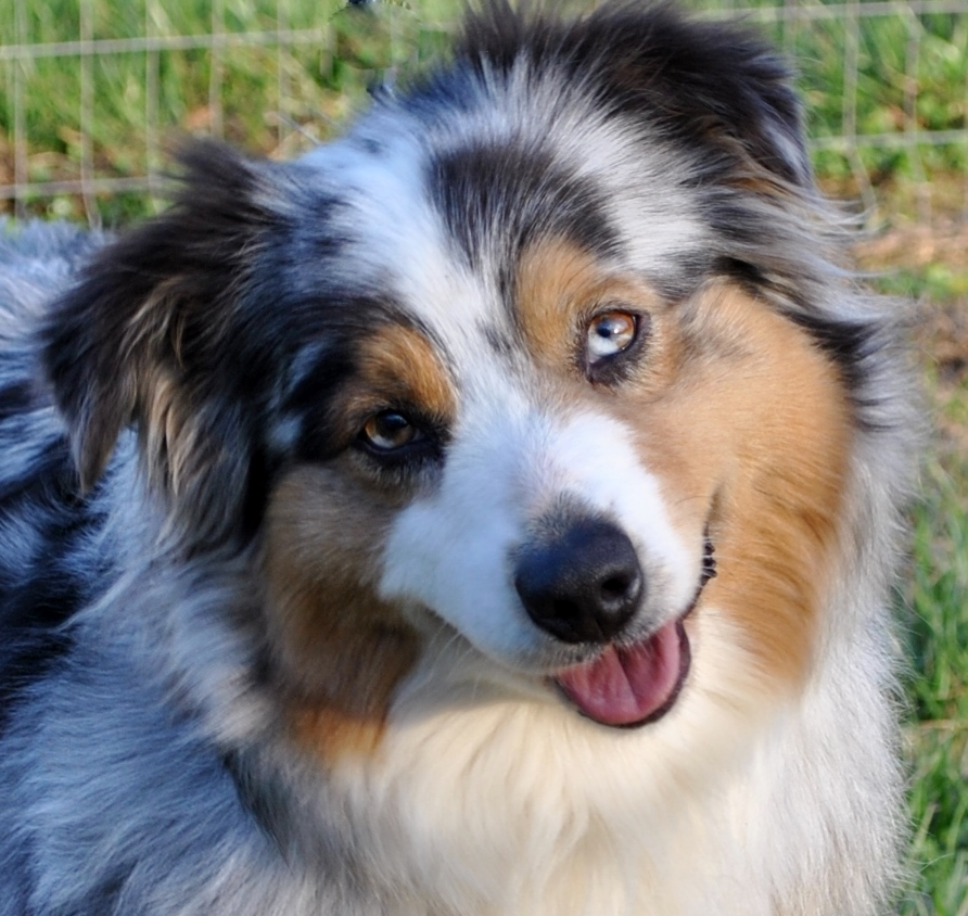 Akc Australian Shepherd Breeders In North Carolina Ramblin Ridge Aussies