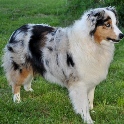 AKC Australian Shepherd Breeders in North Carolina | Ramblin