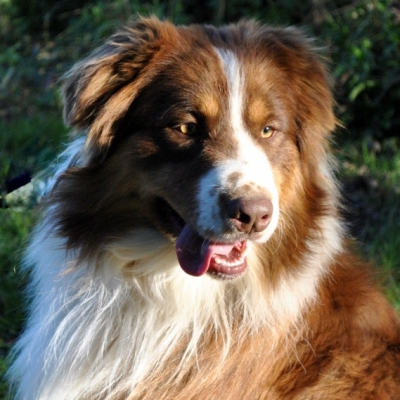 Akc Australian Shepherd Breeders In North Carolina Ramblin Ridge