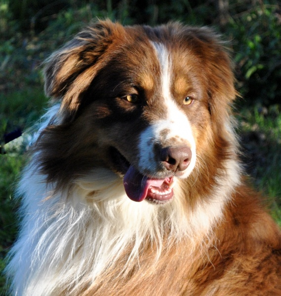 AKC Australian Shepherd Breeders in North Carolina | Ramblin Ridge