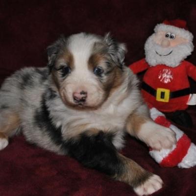 AKC Australian Shepherd Puppies for Sale