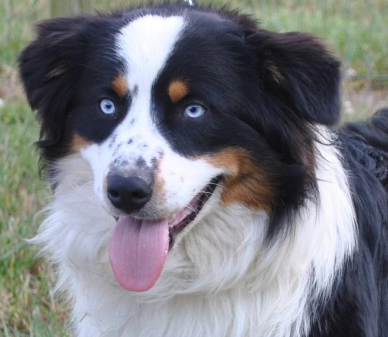 Male Australian Shepherds & Puppies for Sale in VA