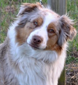 Australian Shepherds for Sale in NC & SC